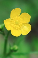 Meadow, Buttercup, North, Rhine_Westphalia, Germany, Ranunculus, acris,
