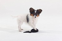 Papillon, puppy, 12, weeks, Continental, Toy, Spaniel, Butterfly, Dog,