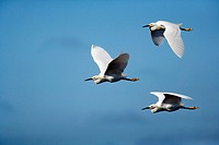 Snowy Egrets In Flight 3 Image Digital Composite - J N  Ding Darling National Wildlife Refuge - Sanibel Island, Florida USA