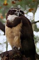 Bird, Corujão_mateiro, OiseauxFoz, Foz Iguaçu, Brazil