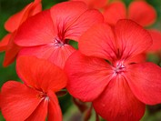 colorful red spring flowers geranium