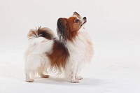 Papillon, Continental, Toy, Spaniel, Butterfly, Dog, side,
