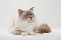 Sacred, Cat, of, Birma, lilac_point, tomcat, Birman,