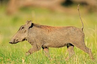 Any slight disturbance makes the warthog flee with his tail resmbling a radio antenna