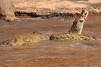 One unfortunate zebra foal was caught by a crocodile while crossing the river with zebra and wildebeest herds  As soon as the crocodile started eating...