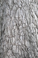 bark of an ornamental tree, pasadena, california, united states of america