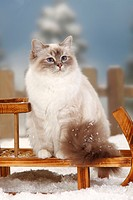 Sacred, Cat, of, Birma, blue_tabby_point, Birman,