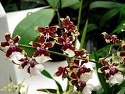 Flowers, orchid, orchids, Oncidium Sharry Baby, Botanical Garden, City, Rio de Janeiro, Brazil