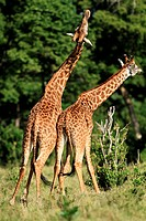 Giraffe males fight all year round  This is also known as 'necking' where one male lowershis head and swings it towards the other male