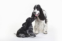 English, Cocker, Spaniel, with, puppy, 10, weeks,