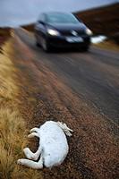 run over Mountain Hare, Scotland