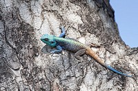 Blue Headed Lizard Agamid Lizard  Sunning on a tree   Hluhluwe Imfolozi Game Reserve  Kwazulu-Natal, South Africa  November 2010