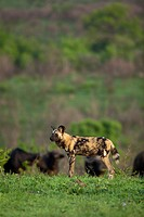 African Wild Dog Lycaon pictus   Endangered species  Buffalo herd in the background   Hluhluwe Imfolozi Game Reserve  Kwazulu-Natal, South Africa  Nov...