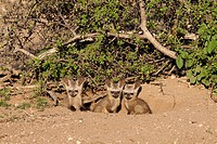 Bat-eared Fox Otocyon Megalotis   Pups at a den   Mashatu Game Reserve  Tuli block, Botswana  November 2010