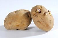 Potatoes, ´La, Bonnotte´, Solanum, tuberosum,
