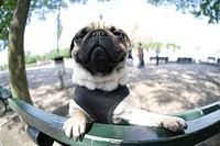 Berlin Pug