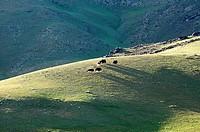 Mongolia, Ovorhangay province, Orkhon valley, herd of yaks.