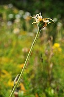 Dry dandelion. Pyrenean biodiversity. El Serrat, Andorra.