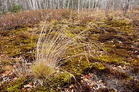Hairgrass in open woodland Greater Sudbury Ontario