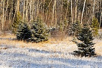 A dusting of early snow on spruce trees in a meadow Greater Sudbury Ontario