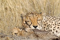 Cheetah Acinonyx jubatus - Tenderly moment between a tired female and its 41 days old male cub  Photographed in captivity on a farm  Namibia