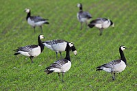 Flock of Barnacle geese Branta leucopsis foraging in field in spring, Sweden