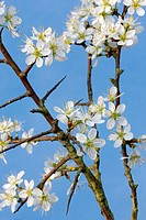 Blackthorn / Sloe Prunus spinosa flowering in spring, Belgium