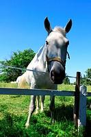 white horses on pasture, Kladruby nad Labem _ starokladrubaci horses