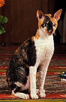 CORNISH REX CAT, ADULT SITTING