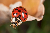Ladybird, close_up