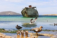 South Atlantic Ocean, Falklands, Falkland Islands, West Falkland, New Island, Upland goose with chicks on island