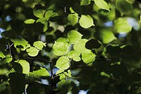 Germany, View of linden tree, close up