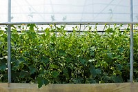 cucumbers cultivation, Merlino Azienda Agricola San Maurizio, Merlino, Lodi province, Italy
