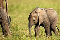 The baby elephant is always within about 50 meters of the mother It goes where the mother goes