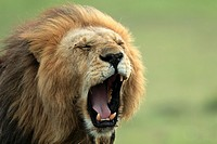Male lion watching the savannah and yawning, Masai Mara National Reserve, Kenya