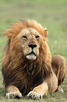 Male lion watching the savannah, Masai Mara National Reserve, Kenya