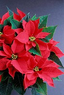 Close_up of a Poinsettia plant