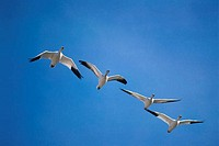 Flock of Snow Geese flying in the sky