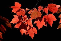 Red leaves on a maple tree