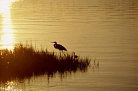 Silhouette of an egret and an ibis