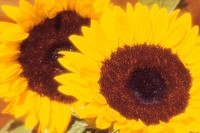 Close_up of sunflowers