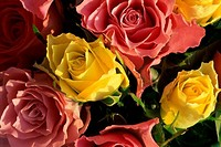 Close_up of roses