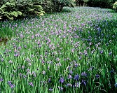 Irises in a field, Kyoto Prefecture, Japan