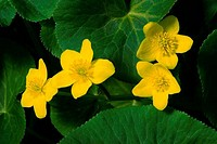 Close_up of Marsh Marigold flowers