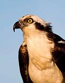Close_up of an osprey Pandion haliaetus