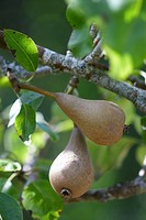 Two pears on branch