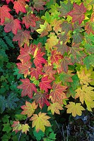 Autumn vine maple at Box Canyon, Mt Rainier National Park, WA