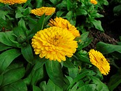 Marigold, Calendula