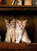 FAWN SOMALI DOMESTIC CAT, KITTEN SITTING ON SIDEBOARD