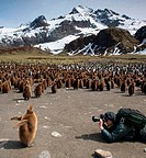 Photographer taking picture of a King penguin chick Aptenodytes patagonicus, Gold Harbour, South Georgia Island, South Sandwich Islands